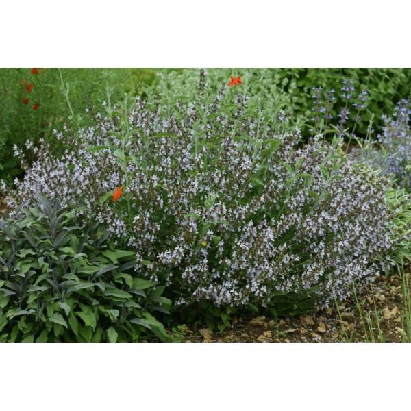 Salvia Officinalis Plant Salvia Officinalis 'rosea'