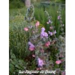 Salvia recognita, Sauge