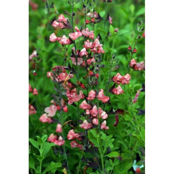 salvia microphylla 39 ribambelle 39 sauge arbustive plante. Black Bedroom Furniture Sets. Home Design Ideas