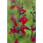 Salvia microphylla 'Bordeaux', Sauge arbustive