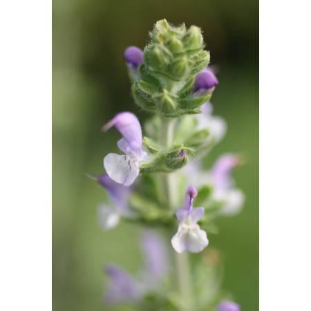 Salvia verbenaca, Sauge à feuilles de verveine