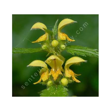 Lamium galeobdolon, Lamier jaune
