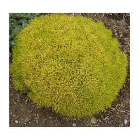Santolina rosmarinifolia 'Lemon Fizz' - Santoline dorée