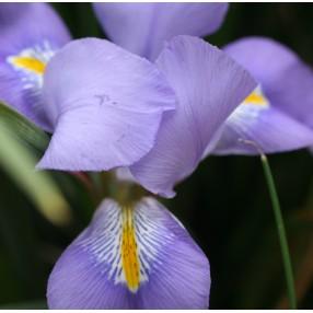 Iris unguicularis, Iris d'Alger