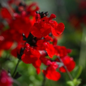 Salvia 'Royal Bumble' - Sauge arbutive rouge