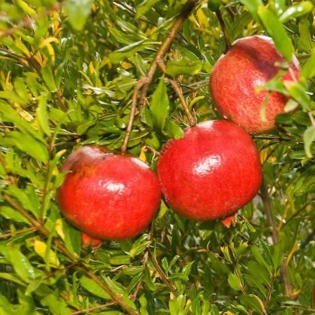 Punica granatum 'Wonderful', grenadier à fruit
