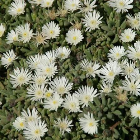Delosperma karooicum 'Graaf Reinet'