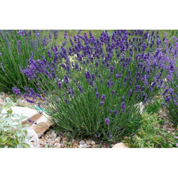 lavandula angustifolia 39 hidcote 39 lavande bleue de jardin sec. Black Bedroom Furniture Sets. Home Design Ideas