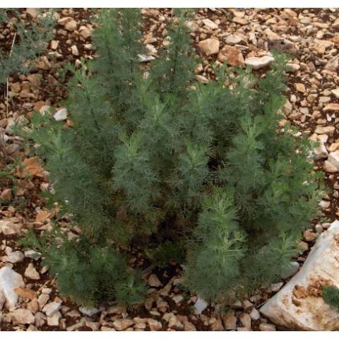 Des vertus des plantes par Macer Floridus, 1832 Artemisia-abrotanum-arquebuse-aurone