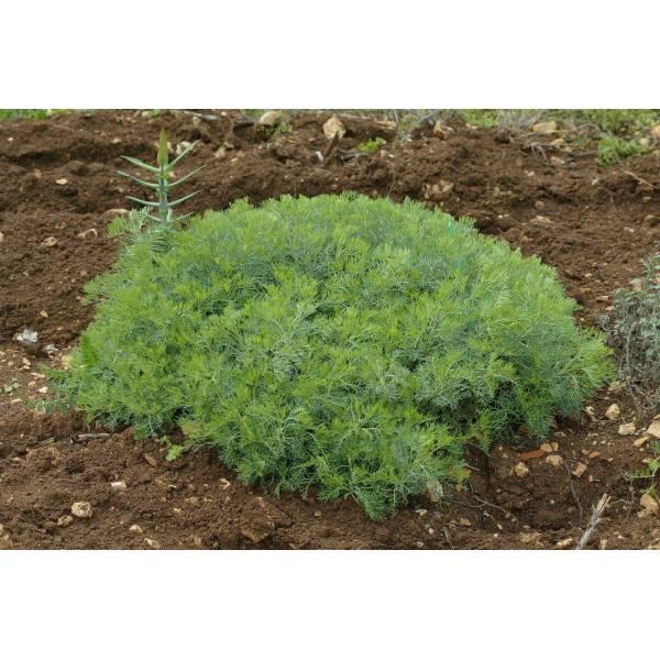 Artemisia alba armoise plante vivace vente en ligne for Plante vivace verte