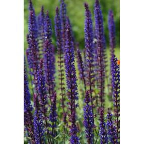 Salvia x sylvestris 'Caradonna', Sauge des bois