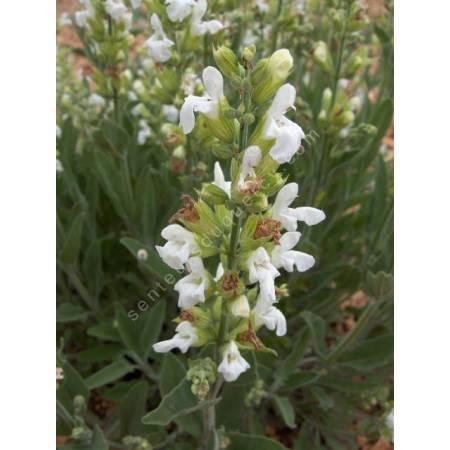 Salvia officinalis 'Albiflora' - Sauge officinale à fleur blanche