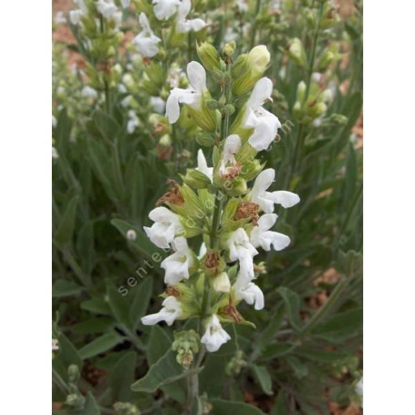 salvia officinalis 39 albiflora 39 sauge condimentaire plante aromatique. Black Bedroom Furniture Sets. Home Design Ideas