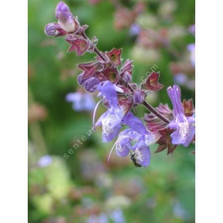 Salvia forsskaolei - Sauge de Forsskaol