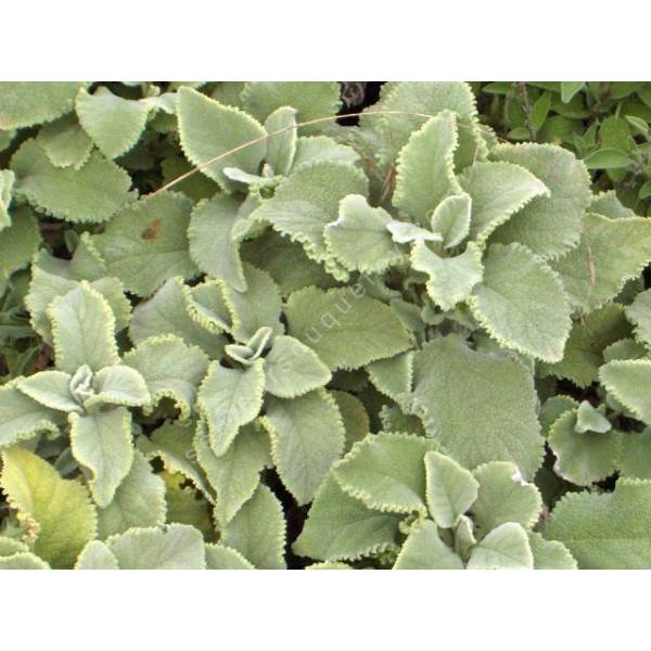 salvia officinalis 39 crispa 39 sauge condimentaire plante aromatique. Black Bedroom Furniture Sets. Home Design Ideas