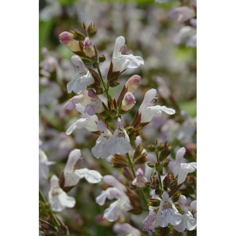 Salvia 'Mas de Lunès' - Sauge officinale à fleur rose