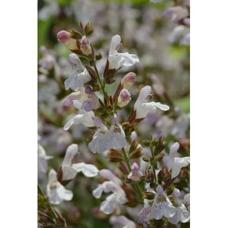 Salvia 'Mas de Lunès', Sauge officinale à fleur rose