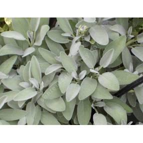Salvia officinalis 'Berggarten' - Sauge officinale à large feuille