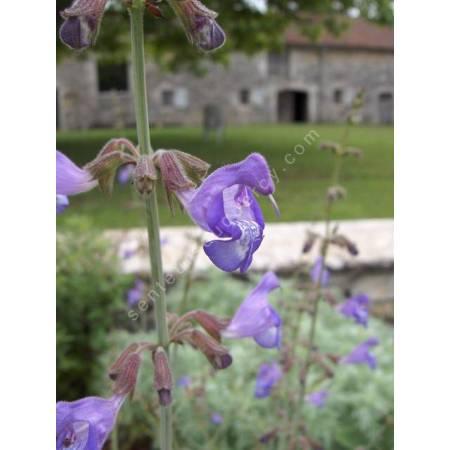 Salvia ringens - Sauge