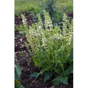 Salvia pratensis 'Swan Lake' - Sauge des prés blanche