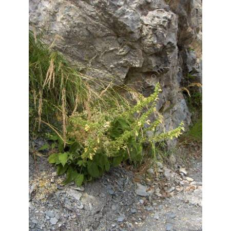 Salvia glutinosa - Sauge glutineuse