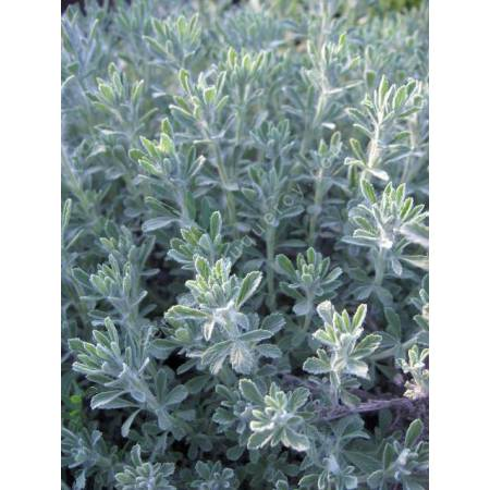 Salvia pisidica - Sauge à feuille de potentille