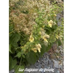 touffe de Salvia glutinosa - Sauge glutineuse