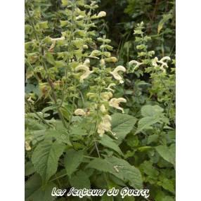 Sauge glutineuse - Salvia glutinosa