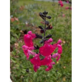 grappe de Salvia 'Pink Blush' - Sauge arbustive rose