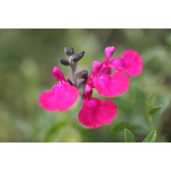salvia microphylla 39 pink blush 39 sauge arbustive plante. Black Bedroom Furniture Sets. Home Design Ideas