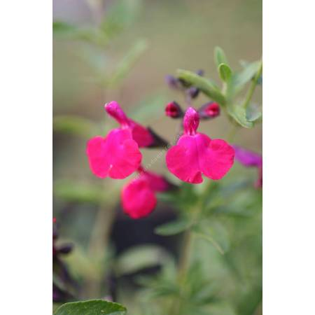 Sauge arbustive rose - Salvia 'Pink Blush'