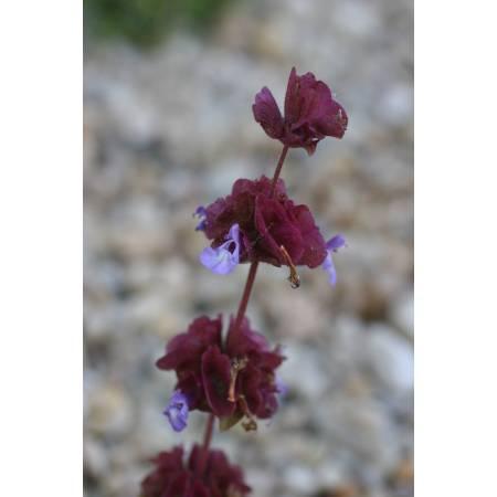 Salvia multicaulis, Sauge