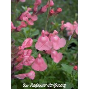 Sauge arbustive rose 'Ribambelle'