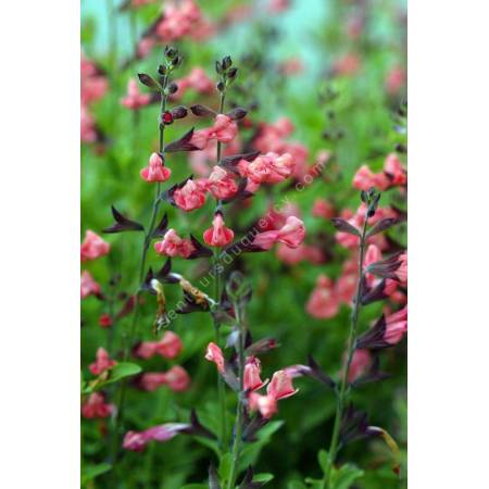 Salvia 'Ribambelle' - Sauge arbustive rose