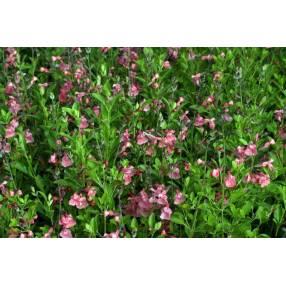 Touffe de Salvia 'Ribambelle' - Sauge arbustive rose