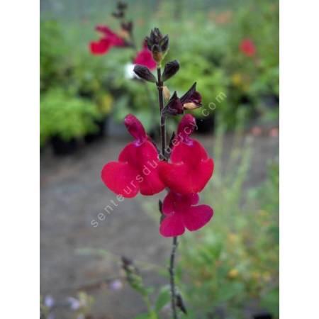 Fleur de Salvia 'Bordeaux' - Sauge arbustive