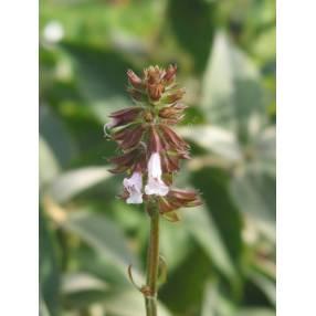 fleur de Salvia lyrata 'Purple Knock Out' - Sauge