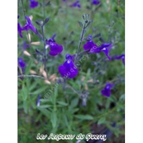 touffe de Sauge arbustive violette - Salvia lycioides