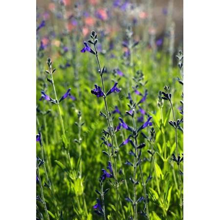 Sauge arbustive violette lycioides