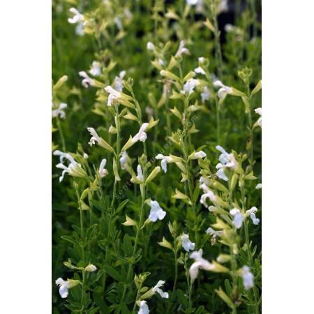 Sauge de Gregg blanche - Salvia greggii 'Alba'
