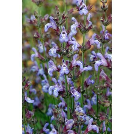 Salvia lavandulifolia 'Roquefure', Sauge àfeuille de lavande