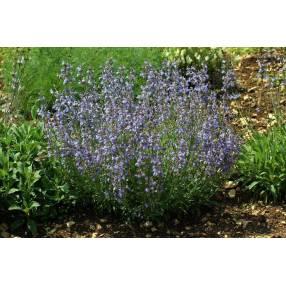 Salvia lavandulifolia 'Roquefure' - Sauge àfeuille de lavande