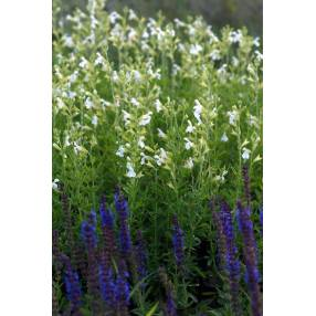 touffe de Salvia greggii 'Alba' - Sauge de Gregg blanche