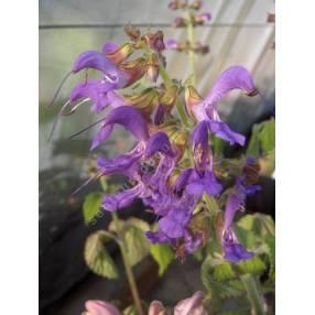 touffe de Salvia milthiorrhiza - Sauge Chinoise