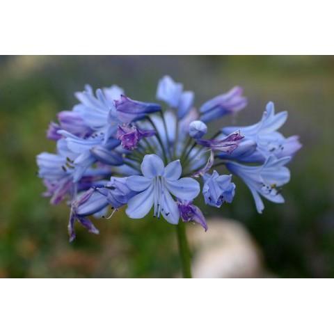 Agapanthus 'Rotterdam' - Agapanthe bleu clair