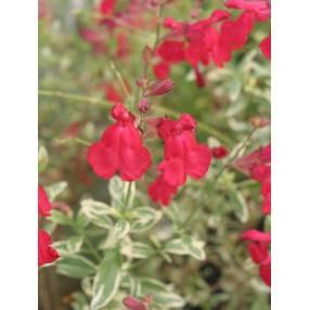 touffe de Salvia greggii 'Desert Blaze' - Sauge de Gregg panachée