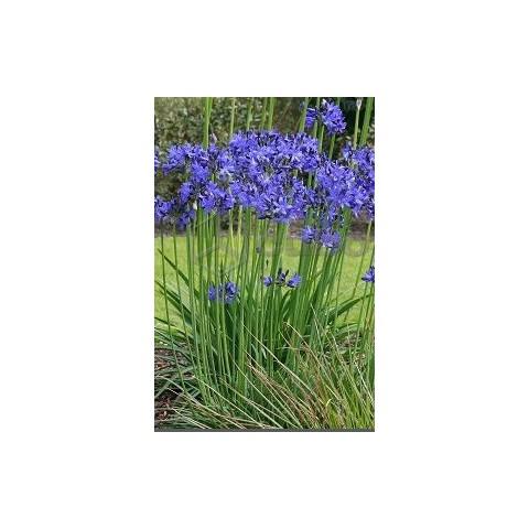 Agapanthus 'Lilliput' - Agapanthe