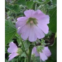 Alcea pallida - Rose trémière rose