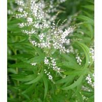 Aloysia citriodora - Verveine citronnelle