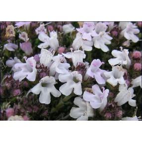 Thymus hyemalis